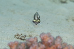 BD-150225-Sharm-6932-Scolopsis-ghanam-(Forsskål.-1775)-[Arabian-monocle-bream].jpg